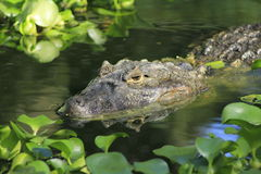 aligator Brazil Zdjęcie Royalty Free
