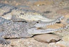 Aligator, Caiman, krokodyl/ Zdjęcie Stock