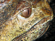 Aligator Royalty Free Stock Images
