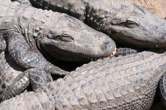 Aligator stock photos
