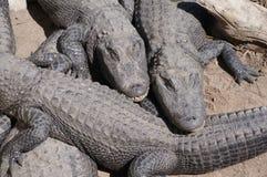 Aligator royalty free stock photo