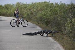 Aligator en Turist op fiets Royalty-vrije Stock Foto