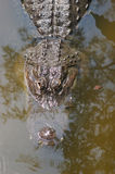 A aligator in the Florida swamp land royalty free stock photo