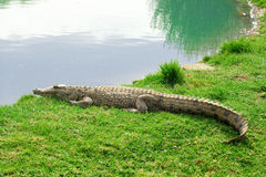Aligator on grass Stock Images