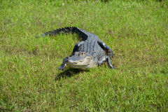Aligator on the grass watching. And waiting Royalty Free Stock Image