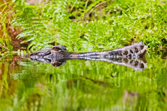 Aligator hiden w wodzie przy dniem Obraz Royalty Free