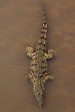 Aligator. A huge aligator swimming in a swamp Stock Photo
