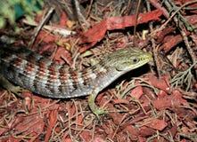 Aligator Jaszczurka Obrazy Royalty Free