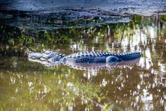 Aligator na bagno śladzie w Południowym Zachodnim Floryda obrazy stock