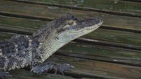 Aligator na drewnianej mokrej platformie z bliska zbiory