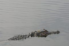 Aligator na powierzchni Zdjęcia Stock