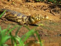 Aligator. Near village Rurrenabaque (Bolivia Royalty Free Stock Photos