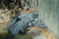 aligator niewola Zdjęcia Royalty Free
