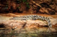 Aligator odpoczywa na kamieniu w akwarium parku Obrazy Royalty Free