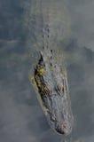 Aligator półpostać i twarz Obraz Royalty Free