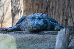 Aligator Patrzeje Ciebie obrazy royalty free