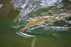 Aligator. Picture of an aligator in the water Royalty Free Stock Photography