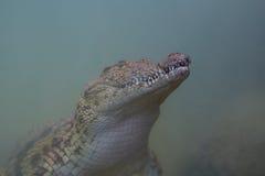 Aligator pod wodą Fotografia Royalty Free