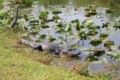 Aligator przy błotami 3 Obrazy Royalty Free