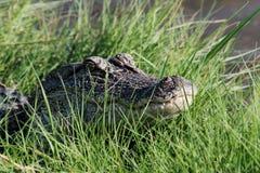 Aligator przy Nawadnia krawędź 4 Zdjęcie Stock
