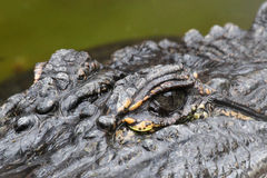Aligator przygląda się zbliżenie Obrazy Stock