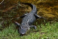 aligator ranił Zdjęcie Royalty Free