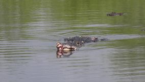 Aligator raniący po walki podczas hodowla sezonu zbiory