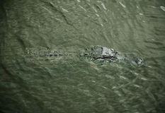 Aligator  resting on the  river. Myakka River Stock Images