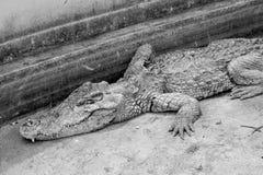aligator stary Obrazy Royalty Free