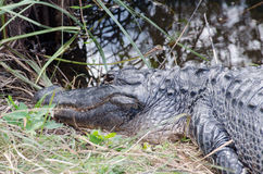 An aligator staying extremely still, with eyes open Royalty Free Stock Image