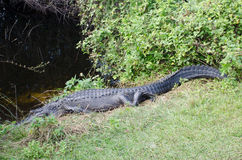 An aligator staying extremely still, with eyes open Stock Photo