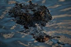 Aligator Stock Images