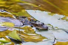 aligator trochę zdjęcia royalty free
