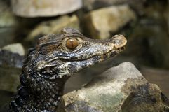 aligator trochę obraz royalty free