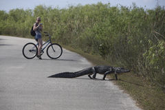 Aligator and Turist on bike Royalty Free Stock Photo