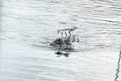 Aligator w błota parku narodowym, Południowy Floryda fotografia royalty free