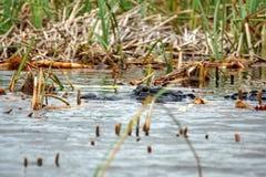 Aligator w błota parku narodowym, Południowy Floryda zdjęcie stock