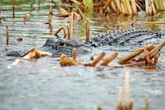 Aligator w błota parku narodowym, Południowy Floryda fotografia stock