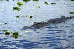 Aligator w błotach parki narodowi, Floryda, usa obraz stock