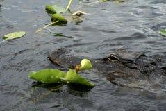 Aligator w błotach parki narodowi, Floryda, usa fotografia stock