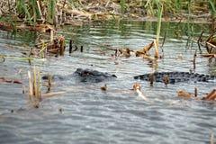Aligator w błotach parki narodowi, Floryda, usa zdjęcie stock