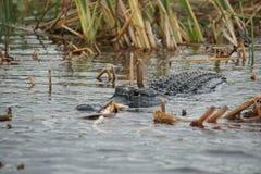 Aligator w błotach parki narodowi, Floryda, usa obrazy stock