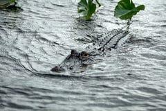 Aligator w błotach parki narodowi, Floryda, usa fotografia royalty free