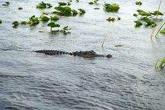 Aligator w błotach parki narodowi, Floryda, usa zdjęcia stock