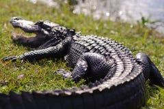 Aligator w błota parku Obraz Royalty Free