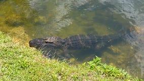 Aligator w błota parku Fotografia Royalty Free
