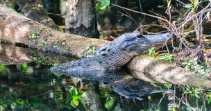 Aligator w bagnach Fotografia Royalty Free