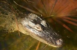 Aligator w bagnie Zdjęcia Royalty Free
