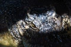 Aligator w bagnie Fotografia Royalty Free