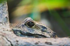 Aligator w kamuflażu Zdjęcia Stock